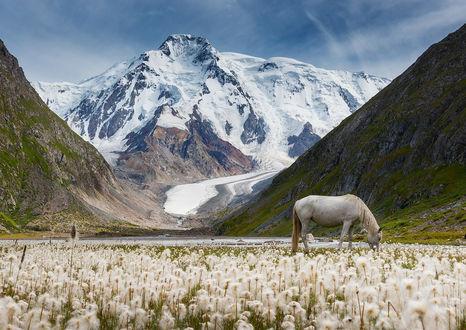 Обои Пасущаяся на лугу среди белых пушистых одуванчиков лошадь, на фоне горного образования вершины которого покрыты снегом, с сошедшим в ущелье ледником, фотография Даниила Коржонова