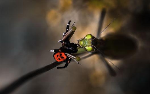 Обои Богомол поймал паука