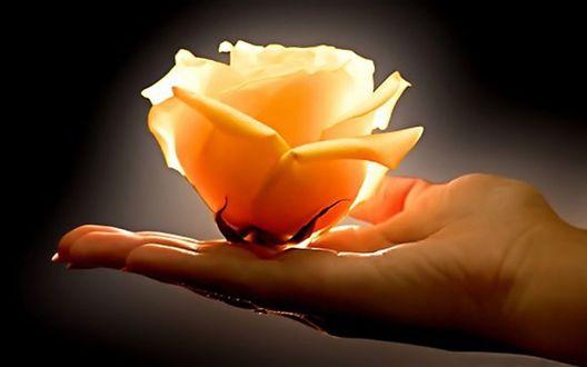 Обои На женской руке желтая роза