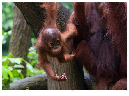 Обои Смешной детеныш обезьяны с большими темными глазами, слезший с дерева с сидящей рядом его матерью, фотография Vladimir D