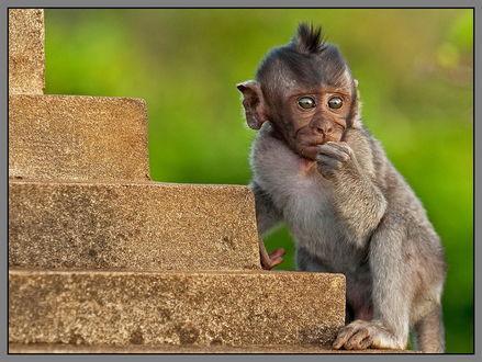 Обои Маленький детеныш обезьяны с большими глазами и смешным хохолком на голове, стоящий у каменных ступенек, фотография Vladimir D