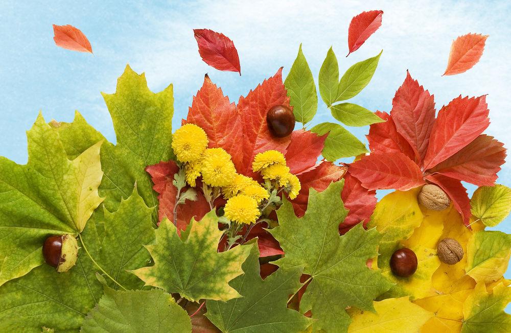 обои для рабочего стола осенние цветы хризантемы