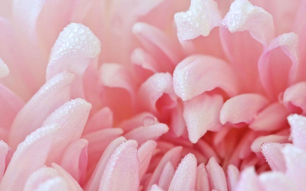 Обои для рабочего стола Нежно - розовые лепестки цветка в капельках воды
