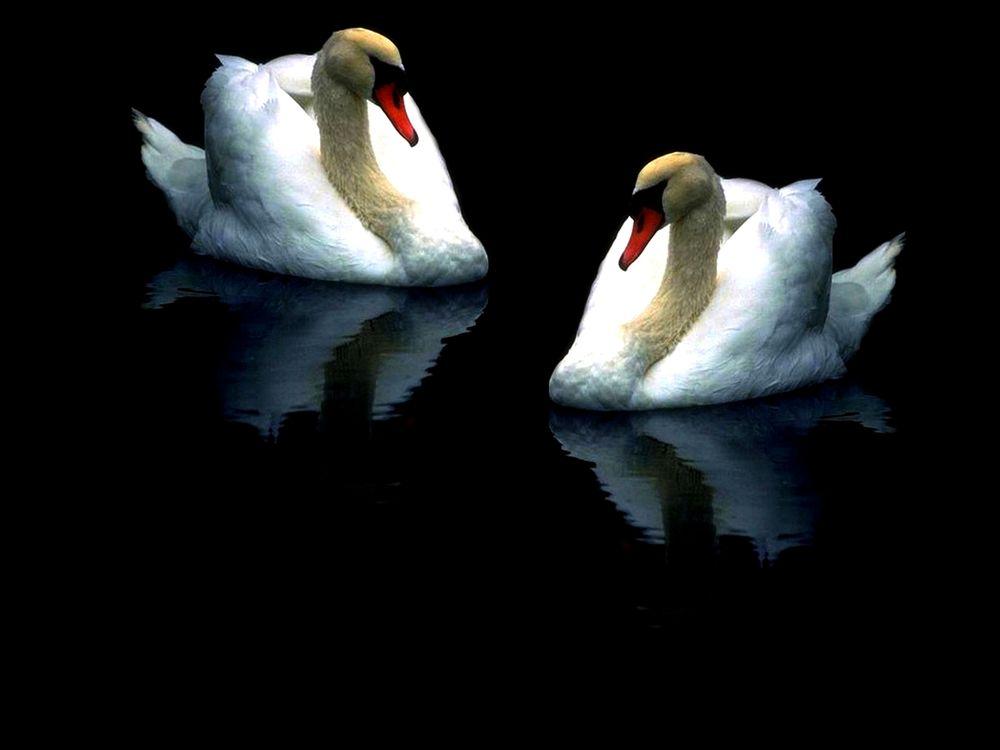 Я тебя люблю лебеди открытки