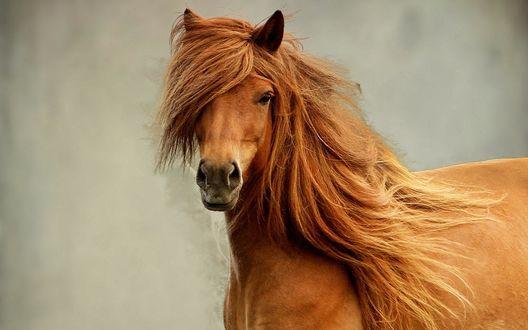 Обои Рыжая лошадь с густой гривой