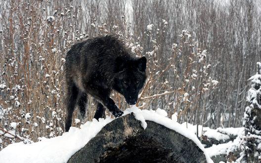 Обои Черный волк стоит на заснеженном бревне