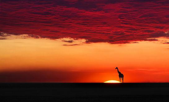 Обои Силуэт жирафа, стоящий на фоне заходящего за линию горизонта солнца, багряных туч на небе, фотография Moro
