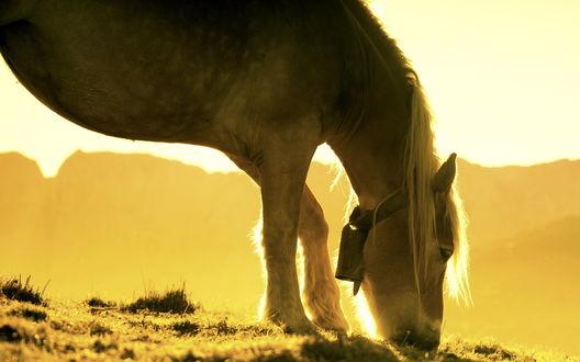 Обои Лошадь с колокольчиком на шее щиплет травку в ярком солнечном свете