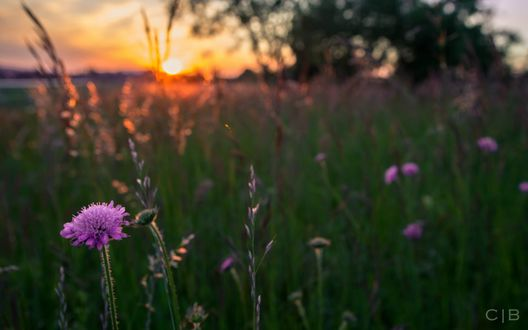 Обои Фиолетовые цветы в высокой траве на фоне заката