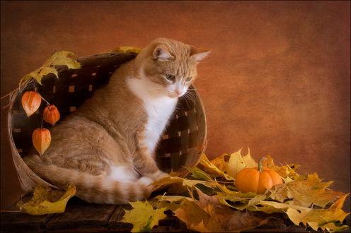 Обои Европейская короткошерстная кошка рыжего с белым окраса, сидящая в плетеной корзинке со свисающими цветами физаписа, с любопытством смотрит на крошечную тыкву, лежащую в осенних, желтых листьях, фотография Eleonora Grigorjeva
