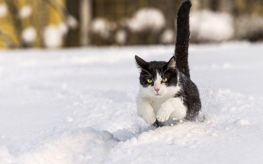 Обои Черно-белый кот бежит по снегу