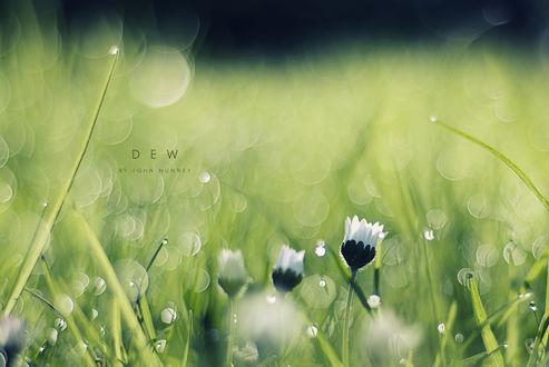 Обои Белые цветы в траве, макросъемка (Dew, by John Nunney)