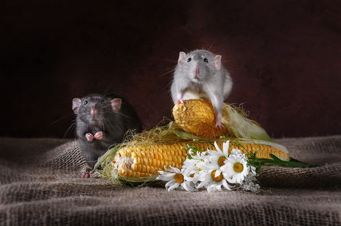 Обои Две крысы, сидящие на мешковине возле початков кукурузы и лежащих белых ромашек, фотография Анны Тюриной
