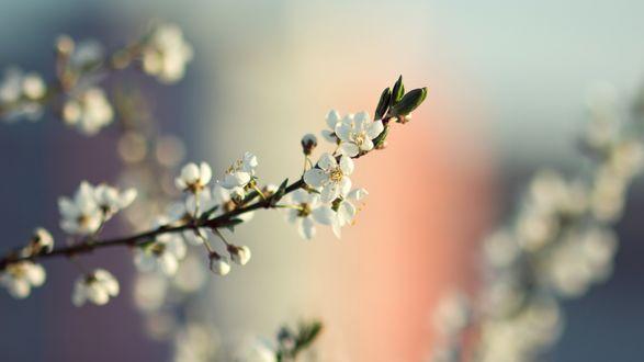 Обои Ветка с цветами вишни