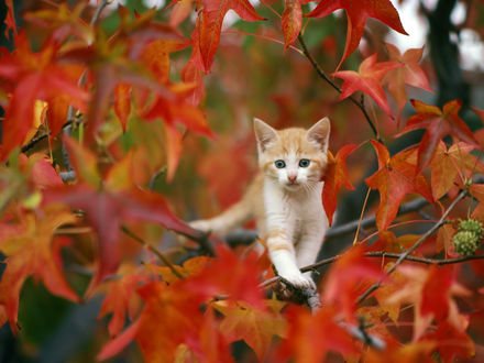 Обои Маленький рыжий котенок на ветке клена с красными листьями