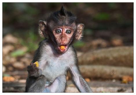 Обои Маленький, смешной детеныш обезьянки с хохолком на голове, засунул себе в рот кусочек печенья