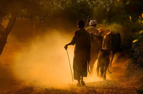 Обои Старик-индус в чалме и долговязый мальчик с серпом в руке, гонят своих коров с пастбища по пыльной дороги, Индия / India, фотография Сергея Шляга
