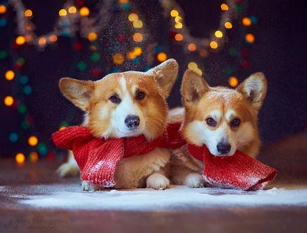 Обои Пара собак породы вельш-корги с припорошенными снегом головами и одетыми на шее красными шарфами на фоне цветных бликов, фотография Анны Моногаровой