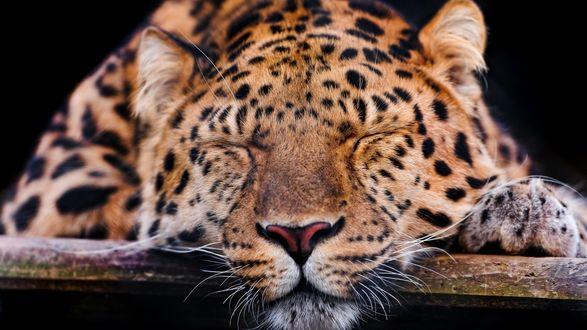 Обои Спящий леопард на черном фоне