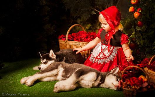 Обои Белокурая девочка в красной шапочке и красном сарафане с белым передником, сидит рядом с лежащими щенками хаски, за спиной у девочки висит ветка со спелыми яблоками, рядом лежат плетеные корзинки с алыми розами, фотография Мусской Татьяны