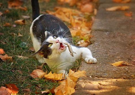 Обои Обозленная ящерица атакует короткошерстного домашнего черно-белого кота, лежащего на траве среди желтых осенних листьев возле бетонной дорожки, после того, как он откусил у нее кончик хвоста, фотография Сергея Мироненко