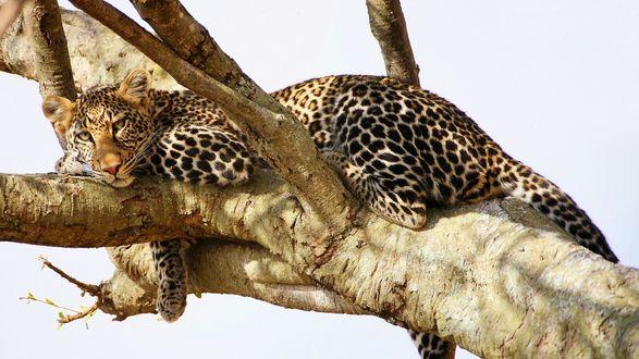 Обои Леопард отдыхает на дереве
