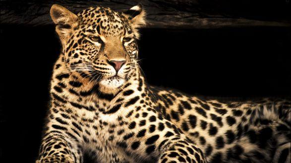 Обои Леопард лежит на черном фоне
