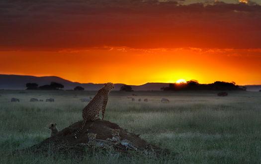 Обои Самка гепарда, сидящая на невысоком бугре, настороженно оглядывает местность оберегая покой трех своих детенышей, лежащих возле бугра на фоне багряного заката солнца, фотография Николая Зиновьева