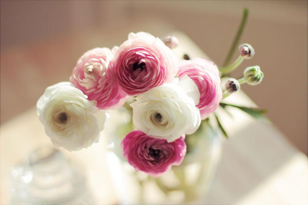 Обои для рабочего стола розы белые