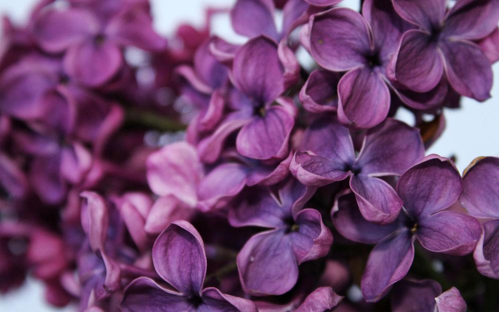 Фото сиреневые цветы