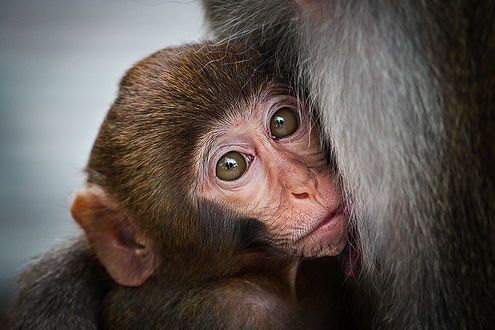 Обои Детеныш макаки с выразительным взглядом больших глаз нежно прильнул к туловищу матери, фотография Kostin Max