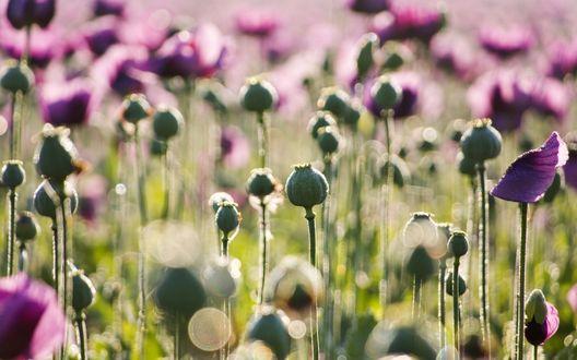Обои Фиолетовые цветы и их бутоны в высокой траве знойным летом
