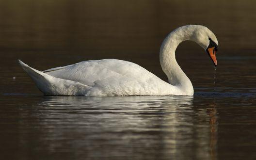 Обои Белый лебедь на воде