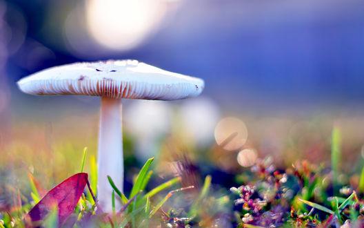 Обои Белая сыроежка в траве в макросъемке