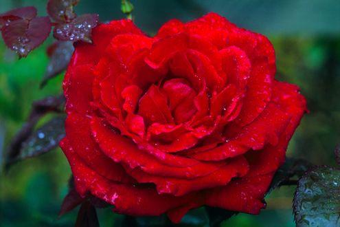 Обои Красная роза с капельками росы
