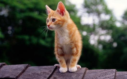 Обои Рыжий кот повернул мордочку влево и пристально смотрит