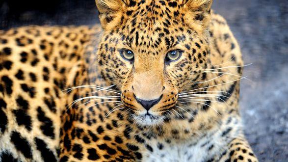 Обои Опасный взгляд лежащего леопарда