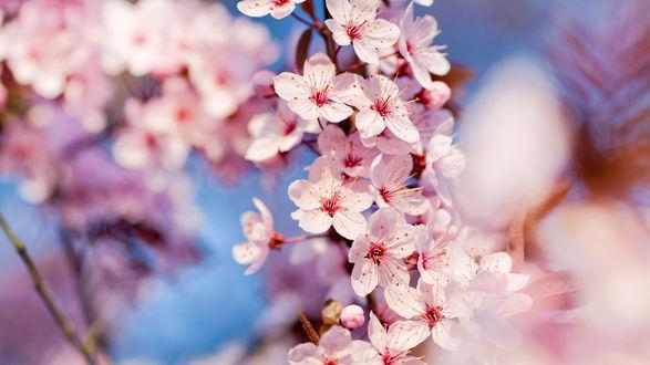 Обои Цветущее весной вишневое дерево