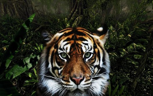 Обои Голова тигра на фоне джунглей
