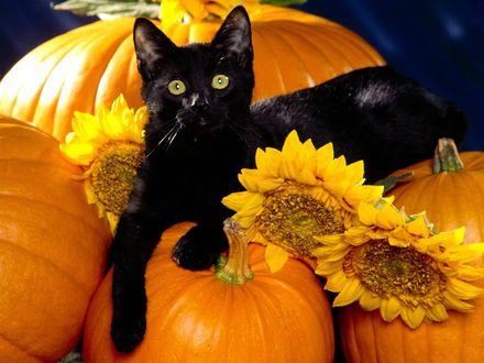 Обои Черный кот лежит на тыкве с подсолнухами