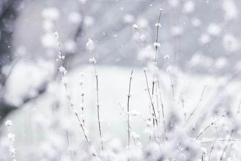 Обои Сухие стебли травинок покрыты хлопьями снега