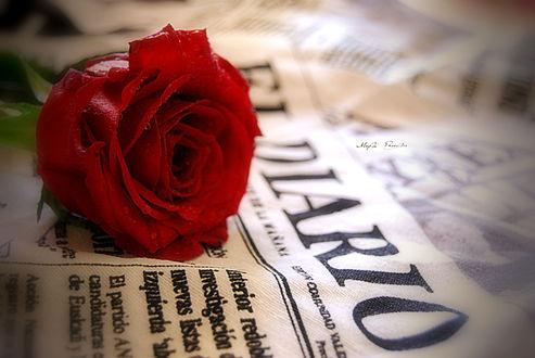 Обои Красная роза в каплях воды лежит на газете, работа This love is silent / эта любовь безмолвна, автор MyrtoGkl