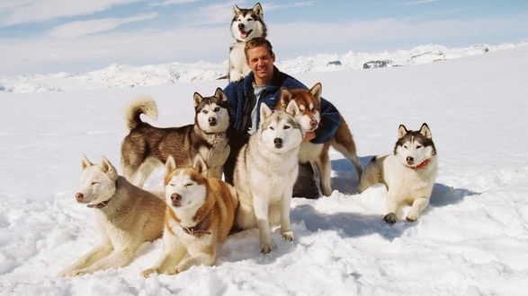Обои Актер Пол Уокер / Paul Walker в окружении собак породы хаски, момент между съемками фильма Белый плен / Eight Below