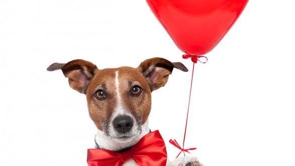 Обои Собака породы джек-рассел-терьер с красным бантиком и воздушным шаром