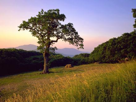 Обои Одинокое дерево стоит на склоне на фоне горы Олд Рэг / Old Rag, национальный парк Шенандоа, штат Вирджиниа, США / Shenandoah National Park, Virginia, USA