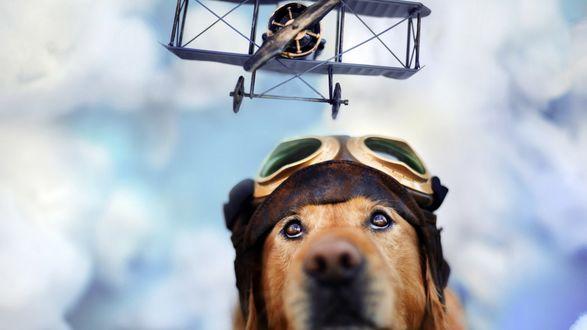 Обои Собака породы золотистый ретривер смотрит на пролетающий над ней самолет