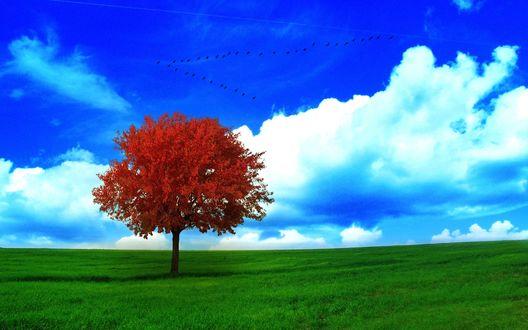 Обои Одинокое дерево с густой ярко-красной лиственной кроной, стоящее на пашне с ярко-зеленой травой на фоне синего неба, белых кучевых облаков и пролетающей стаи птиц