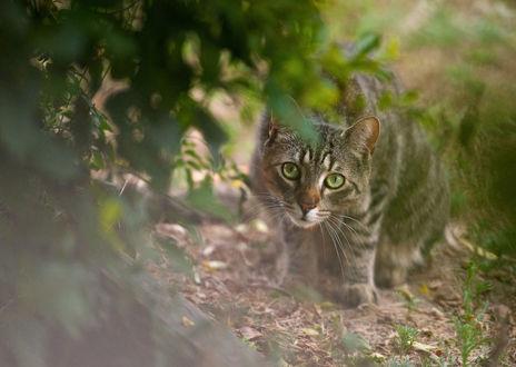 Обои Серый кот выглядывает из-за листьев