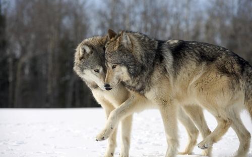 Обои волк и волчица идут лапа в лапу по