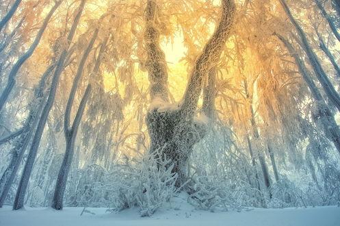 Обои Утреннее восходящее солнце осветило золотистыми лучами, пробившимися сквозь густую крону деревьев, покрытую снегом и инеем, заснеженную лесную опушку, фотограф Janek Sedlar / Янек Седлар